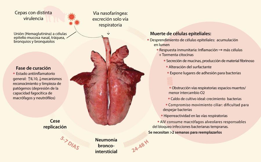 Figura 1. Patogenia de AIV