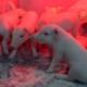 Influenza porcina, controlando su impacto en la reproducción y en la progenie y la batalla para el control de las resistencias antimicrobianas