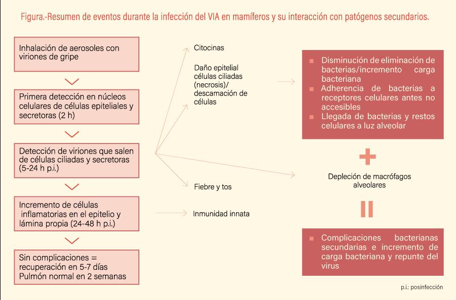 Resumen de eventos durante la infección del VIA en mamíferos y su interacción con patógenos secundarios