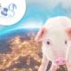 El camino hacia la sostenibilidad en granjas de porcino. Parte 1 - Marco productivo