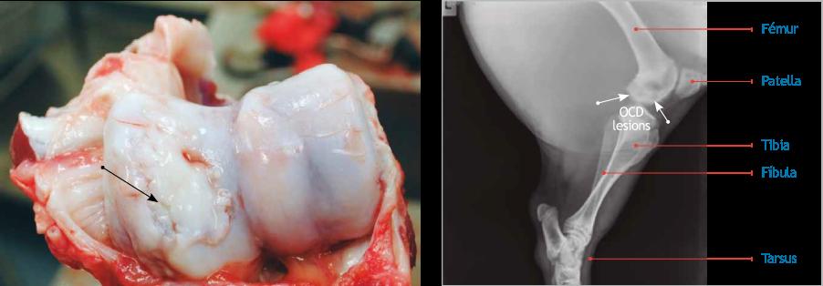 Imagen 2. Osteocondrosis (OCD) de los cóndilos (flecha) del húmero asociada a un crecimiento excesivo y un peso corporal elevado al momento de la primera cubrición. Proyección latero-medial del fémur con lesiones condilares radiolúcidas (flechas).